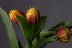 Schöner Blumenstrauß von Tulpen in den Wassertropfen Stockfotografie