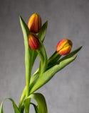 Schöner Blumenstrauß von Tulpen in den Wassertropfen Lizenzfreies Stockbild