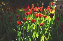 Schöner Blumentulpenhintergrund Junge Erwachsene Stockfotografie
