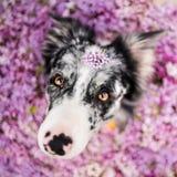 Schöner border collie-Hund, der in den Blumen sitzt stockbilder