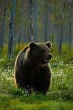 Schöner Braunbär, der morgens um Sonne des Sees geht Gefährliches Tier im Naturwald und im Wiesenlebensraum Szene der wild lebend Lizenzfreie Stockbilder