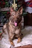 Schöner brauner Hund auf dem Hintergrund des neuen Jahres Stockfotografie