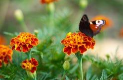 Schöner brauner schwarzer orange Schmetterling auf Blume Stockbild