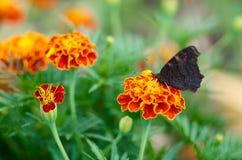 Schöner brauner schwarzer orange Schmetterling auf Blume Lizenzfreies Stockfoto
