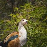 Schöner brauner und weißer Vogel Lizenzfreie Stockfotos