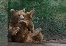Schöner Brown-Bär Stockfotos
