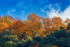 Schöner Buchenwald im Herbst nahe Stadt Olot in Spanien, La-Kippe Stockfotografie