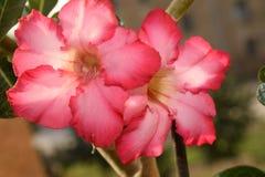 Schöner bunter Adenium in meinem Garten Stockfoto