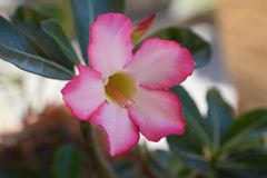 Schöner bunter Adenium in meinem Garten Stockfotografie