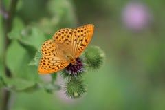 Schöner bunter Schmetterling Silber-wusch Fritillary auf blühender Distel in der Wiese Sommertag, unscharfer Hintergrund Lizenzfreie Stockbilder