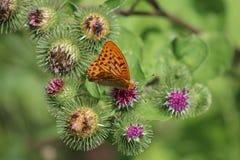 Schöner bunter Schmetterling Silber-wusch Fritillary auf blühender Distel in der Wiese Sommertag, unscharfer Hintergrund Lizenzfreie Stockfotos