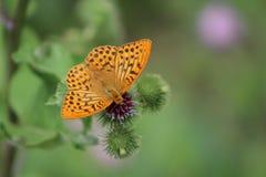 Schöner bunter Schmetterling Silber-wusch Fritillary auf blühender Distel in der Wiese Sommertag, unscharfer Hintergrund Stockbilder