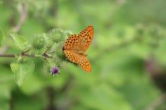 Schöner bunter Schmetterling Silber-wusch Fritillary auf blühender Distel in der Wiese Sommertagesunscharfer Hintergrund Lizenzfreies Stockbild