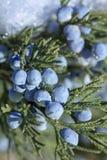 Schöner Busch eines Wacholderbusches mit Beeren stockbilder