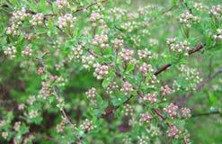 Schöner Busch mit Blüte im Garten, Litauen Stockfotografie