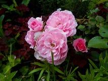 Schöner Busch von hellrosa Rosen im Garten Lizenzfreies Stockfoto