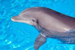 Schöner Delphin im Wasser Stockbilder
