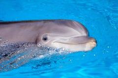 Schöner Delphin im Wasser Stockfotos