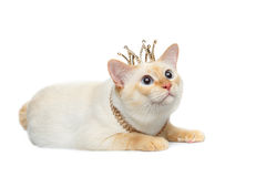 Schöner der Zucht Mekong-Bobtail Cat Isolated White Background Lizenzfreie Stockbilder