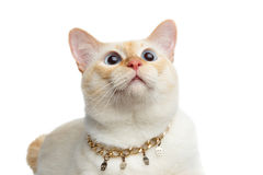 Schöner der Zucht Mekong-Bobtail Cat Isolated White Background Lizenzfreies Stockbild