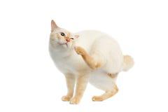 Schöner der Zucht Mekong-Bobtail Cat Isolated White Background Lizenzfreies Stockfoto