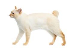 Schöner der Zucht Mekong-Bobtail Cat Isolated White Background Lizenzfreie Stockfotos