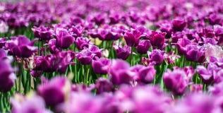 Schöner dunkler purpurroter Tulipa Negrita auf dem Gebiet von Frühlingsblumen auf undeutlichem Hintergrund lizenzfreie stockbilder