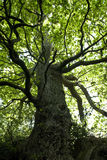 Schöner Eichenbaum Stockbild