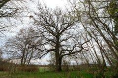 Schöner Eichenbaum Stockfotografie