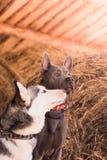 Schöner engagierter Hundeschlittenhund auf dem Heu Lizenzfreie Stockfotografie