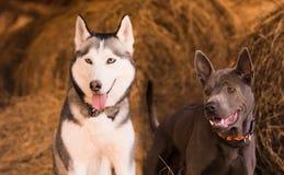 Schöner engagierter Hundeschlittenhund auf dem Heu Lizenzfreies Stockbild