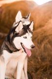 Schöner engagierter Hundeschlittenhund auf dem Heu Stockfotos