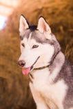 Schöner engagierter Hundeschlittenhund auf dem Heu Stockfotografie