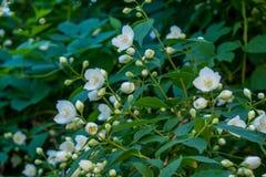 Schöner erstaunlicher junger weißer Jasmin blüht auf dem Busch im Garten Lizenzfreie Stockfotografie