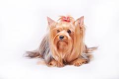 Schöner erwachsene Frau Yorkshire-Terrier mit einem Bogen auf ihrem Kopf Stockbild