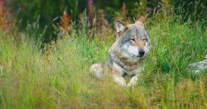 Schöner erwachsener Mannesgrauer Wolf steht im Gras still stock video footage