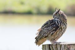 Schöner Eulenraubvogel stehend im Profil mit Kopieraum Lizenzfreie Stockfotografie