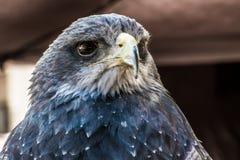Schöner Falke, der sein Opfer anpirscht Lizenzfreie Stockbilder