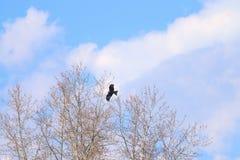 Schöner Falke steigt im Himmel nahe bei Bäumen an Lizenzfreie Stockfotografie