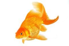 Schöner Fantail Goldfish lizenzfreies stockfoto