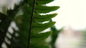 Schöner Farn Houseplant mit den langen und schmalen Blättern, die Innen wachsen stock video