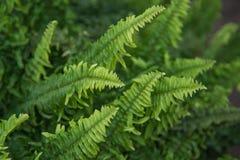 Schöner Farn lässt grünes Laub in einem Garten Nat?rlicher Blumenfarnhintergrund stockbild