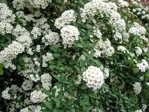 Schöner festlicher Hintergrund vieler weißen Florets auf dem Busch von Spiraea Lizenzfreie Stockfotografie