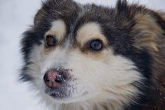Schöner, flaumiger Hund auf schneebedecktem Hintergrund Lizenzfreie Stockfotografie