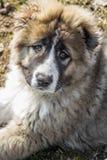 Schöner flaumiger kaukasischer Schäferhund Stockfotos