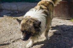 Schöner flaumiger, langhaariger Hund stockbild