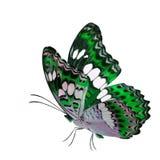 Schöner Fliegengrünschmetterling, gemeiner Kommandant (moduza procris) mit den ausgedehnten Flügeln im fantastischen Farbprofil l lizenzfreies stockbild