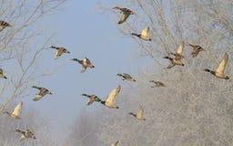 Schöner Flug von Enten im Winter stockbild