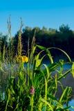 Schöner früher heller Morgen mit blauem Himmel und Wasser, goldene Blumen von Iris und grünes Gras Konzept von Jahreszeiten Lizenzfreie Stockfotos
