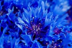 Schöner Frühling blüht blaues Centaurea cyanus auf Hintergrund Querstation Lizenzfreie Stockbilder